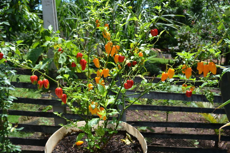Chili Pepper Beauty In Nature Chili  Chilis Close-up Day Flower Flower Head Food Food And Drink Freshness Front Or Back Yard Fruit Growth Healthy Eating Leaf Nature No People Outdoors Plant Red Tree