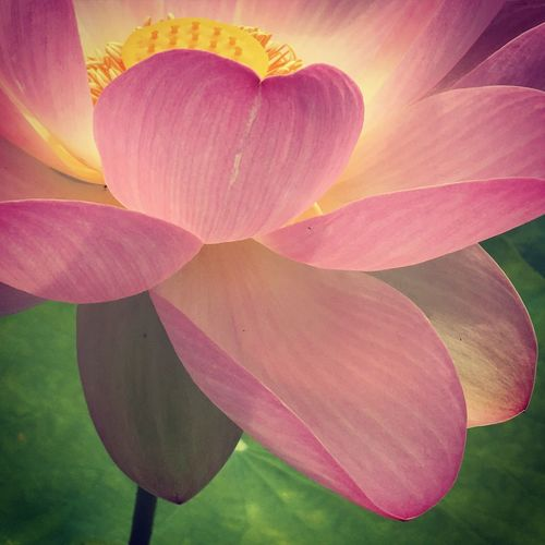 Lotus Bordeaux Photography Photo Iphonephotography Photooftheday Photographer Flowers,Plants & Garden Flowers, Nature And Beauty Flower Photography Flowers Lotus Lotus Flower Le Jardin Botanicus Bordeaux