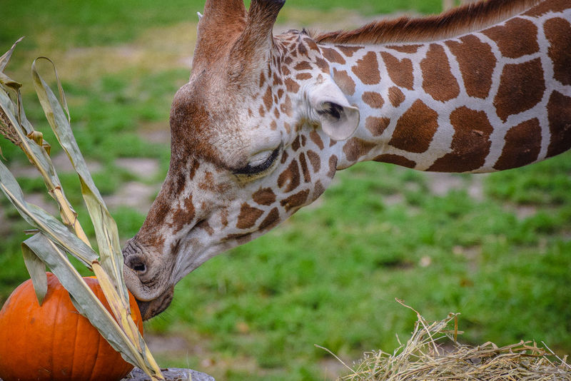 Day Giraffe Grass Grazing Kiss Mammal Outdoors Pumpkin Safari Animals Zoo