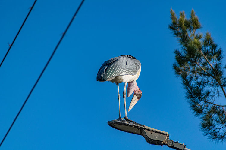 Marabou stork, leptoptilos crumeniferm, standing on a street light