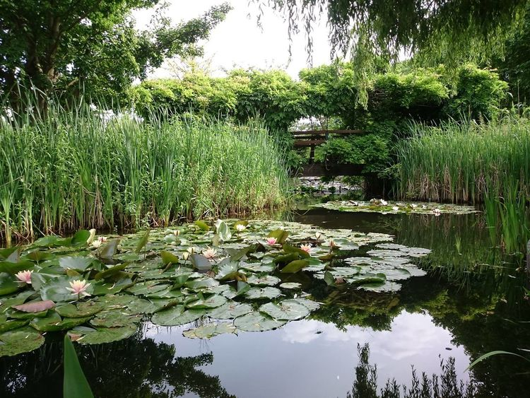 EyeEm Nature Lover EyeEmNewHere Aquatic Plants Freshness Green Color Lotus Water Lily Reflection Water Lily