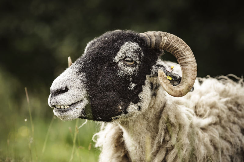 Sheep Agriculture Animal Themes Cattle Close-up Day Domestic Animals Domesticated Animal Tag Focus On Foreground Livestock Mammal Nature No People One Animal Outdoors Portrait Sheep Smiling Teeth