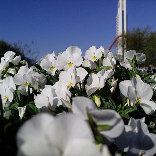 🌺🌸 Flores Flowers Pensamientos Parquefundidora Monterrey PorPendejos White MiraNomas