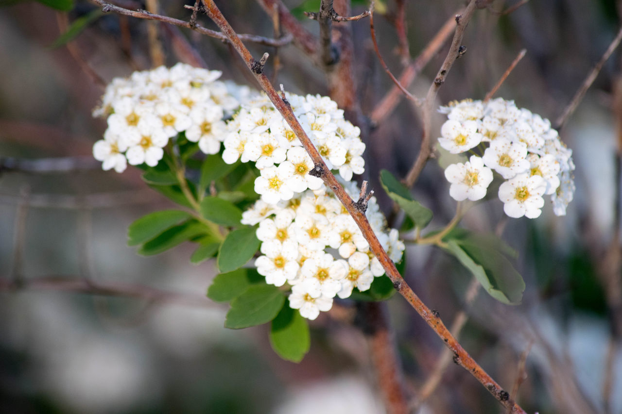 flower, fragility, beauty in nature, freshness, white color, nature, growth, focus on foreground, outdoors, day, close-up, petal, no people, branch, flower head, lantana camara