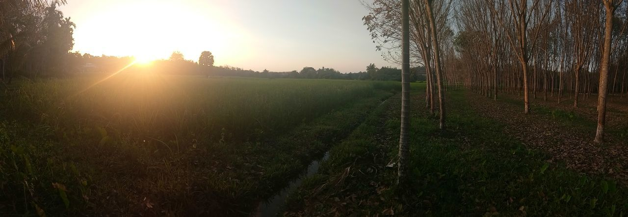 Agriculture Sun Sunset Field Tree Nature Sunlight Growth Beauty In Nature Outdoors No People Rural Scene Grass Day Freshness Tea Crop Sky