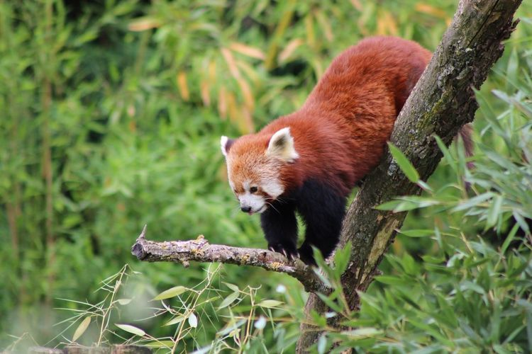 Red Panda On Tree Trunk In Forest