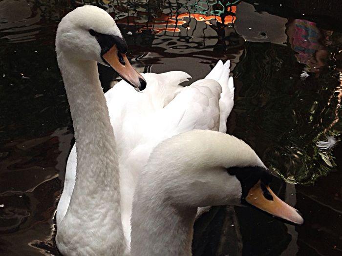 Swan Starting A