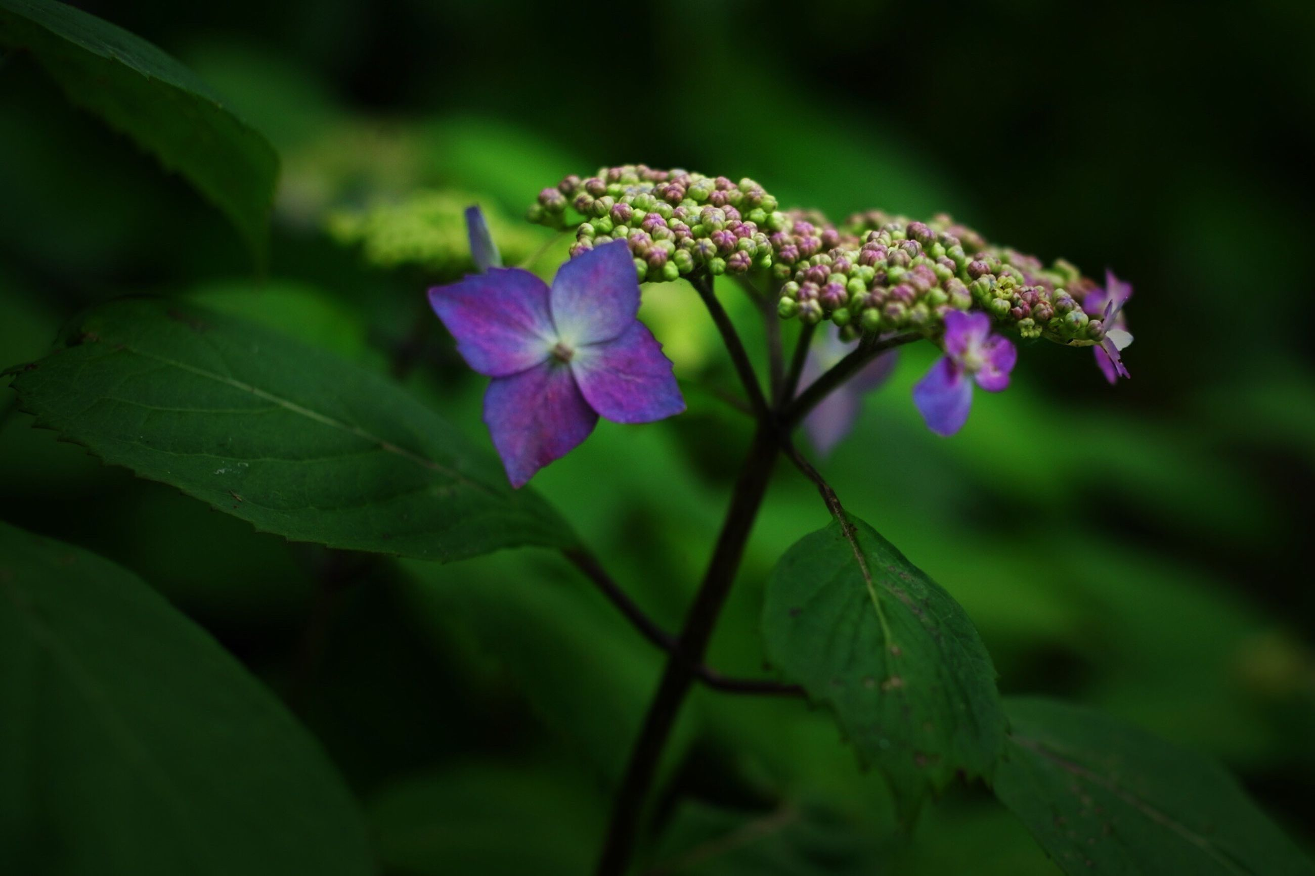 flower, freshness, growth, purple, fragility, beauty in nature, leaf, petal, close-up, plant, nature, focus on foreground, flower head, blooming, green color, in bloom, selective focus, stem, outdoors, day
