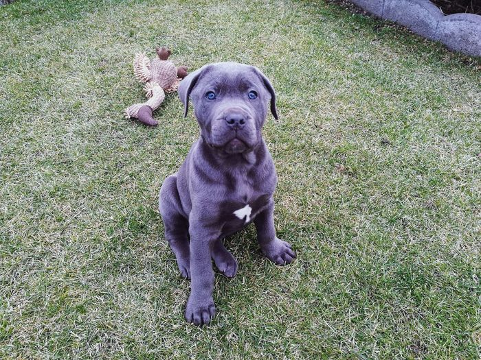Cody... Pets Cane Corso Dog Animal Themes One Animal Portrait Outdoors Blue Eyes Nature Puppy Domestic Animals High Angle View Mammal No People Day First Eyeem Photo