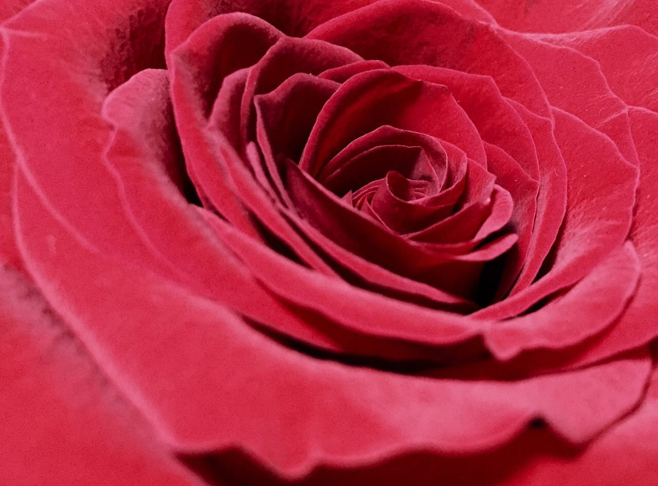 Macro Shot Of Red Rose