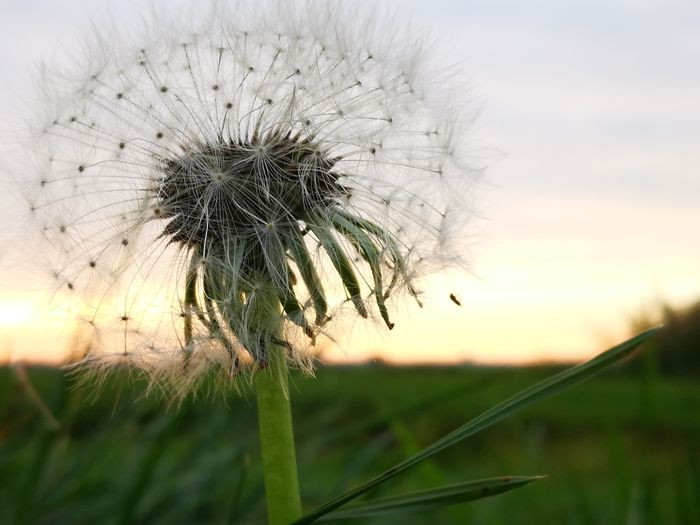 dandelion fluff 2 Relaxing Naturelovers Nature_collection Nature Photography Naturephotography Relaxation Autumn🍁🍁🍁 Nice View Parc Walking Around Taking Pictures Close By Home Close-up Close Up Flower Head Flower Rural Scene Sunset Agriculture Springtime Field Uncultivated Close-up Sky Dandelion Seed Softness Single Flower Wildflower Dandelion Focus Plant Life