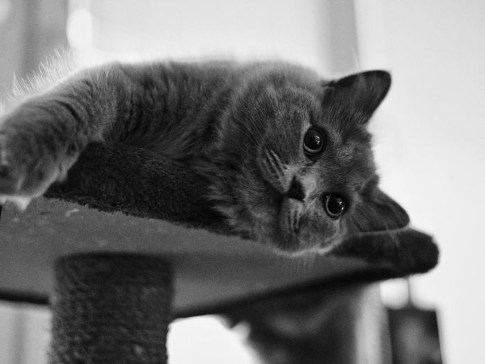 Pet Portraits The Week On EyeEm Kitten Cat Pet Fluffy British Cat Laying Down