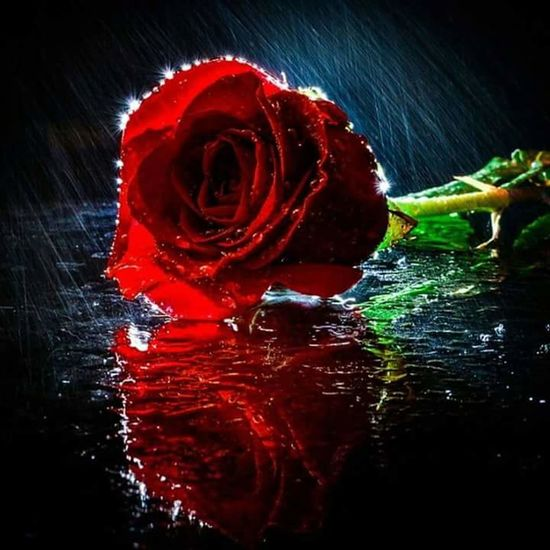 Neutral Colors Happy Roseday RedRose🌹 Water No People
