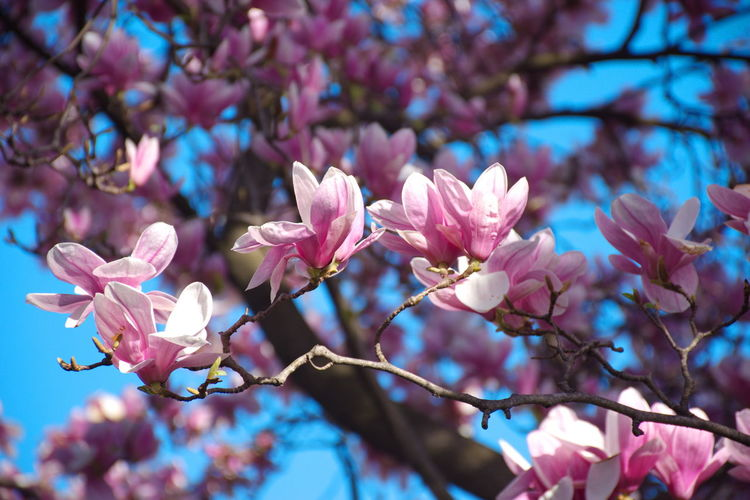 Flowering Plant Flower Pink Color Plant Fragility Beauty In Nature Tree Growth Freshness Blossom Vulnerability  Branch Springtime Nature Close-up Day No People Low Angle View Petal Focus On Foreground Outdoors Flower Head Magnolia Blooming Sky Blue Clear Sky Pink Park