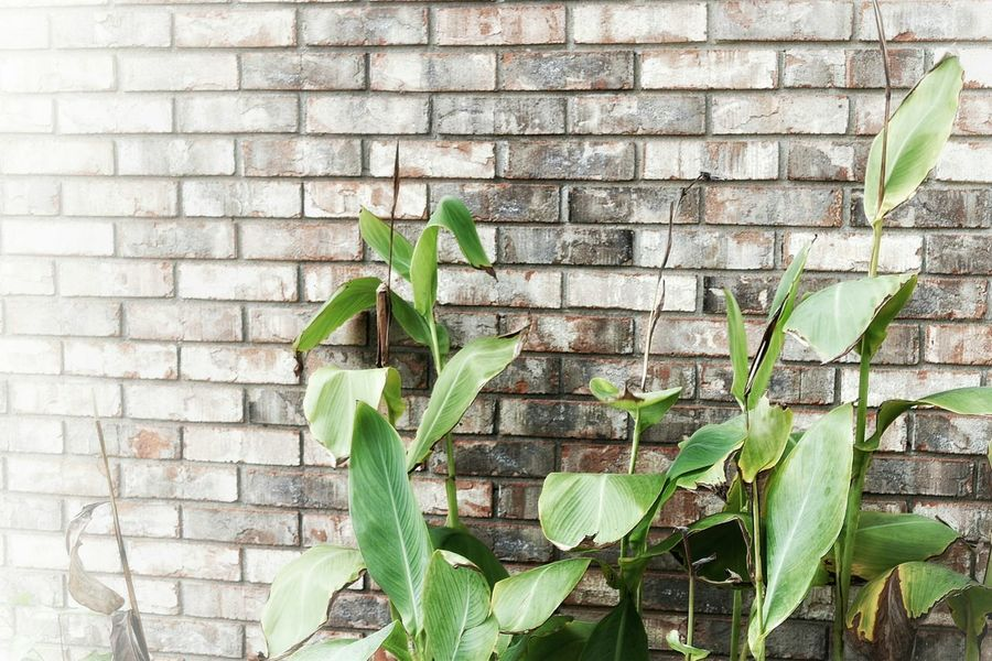 Green Plant Leaves Large Leaves Brick Red Lines Faded Outside