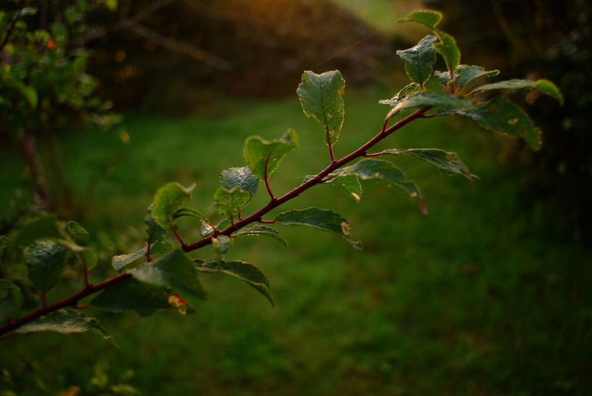 Herbst // autumn // fall. Photograph © 2016 Kay-Christian Heine Autumn Autumn Colors Beauty In Nature Botany Branch Close-up Daybreak Dew Early Morning Fall Focus On Foreground Foliage Fragility Freshness Green Green Color Leaf Nature No People Outdoors Plant Plant Life Stem Tranquility Twig