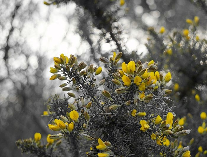 """When you get into a tight place and everything goes against you, till it seems you couldn't hang on a minute longer, never give up then, for that is just the place and time that the tide will turn."" – Harriet Beecher Stowe. Gorse Bush Gorse Flower Outdoors Yellow Flower Nature Plant Prickly Plants Beauty In Nature Focus On Foreground Defocused Freshness The Week On EyeEm Winter Simple Quiet Love No People Petal Ulex Europaeus"