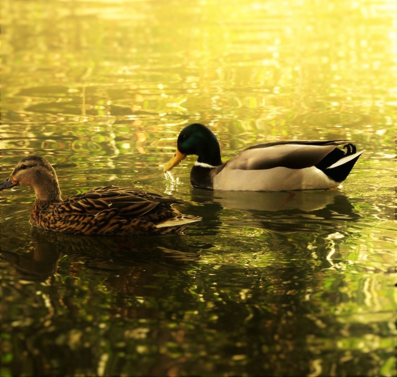 bird, water, animal themes, two animals, duck, animals in the wild, female animal, swimming, reflection, young bird, young animal, lake, animal family, waterfront, nature, water bird, no people, togetherness, beauty in nature, outdoors, day