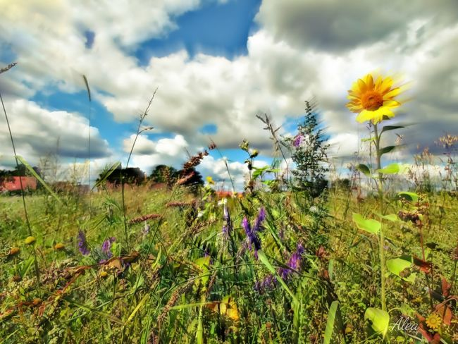 ich brauche heute Sonne! 😊Beauty In Nature Summer 2017 EyeEm Selects Nature_collection The Week On EyeEm Ladyphotographerofthemonth EyeEm Gallery Uncultivated Fine Art Photography Illuminated Wildflower Nature Flower Head Sunflower Low Angle View Nature Photography Illusion Sunflower🌻 Sunflower Field Summertime Summer Views Cloud - Sky Sunshine And Summer Time Sunshine Makes Everything Better Perspectives On Nature Perspectives On Nature