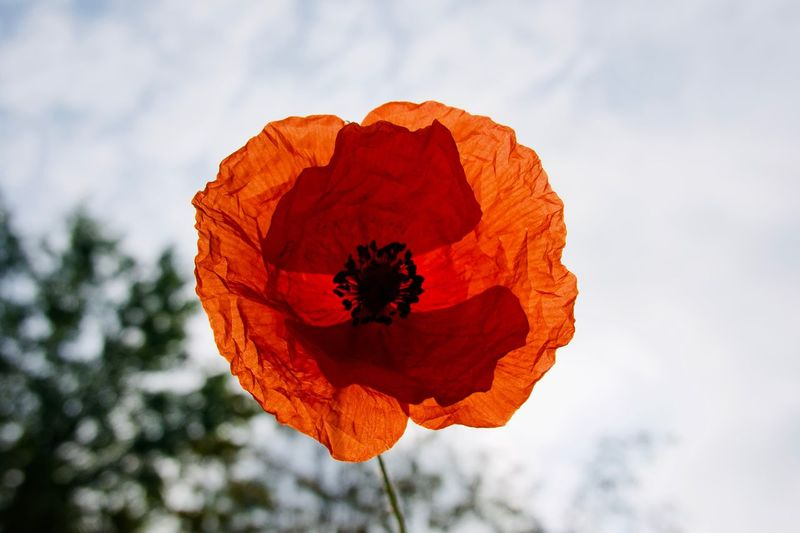 Poppy Poppy Flower Beauty In Nature Plant Flowering Plant Flower Fragility Petal Nature Inflorescence Day Orange Color Focus On Foreground Flower Head Growth Vulnerability  Cloud - Sky Outdoors Close-up Red Freshness Sky