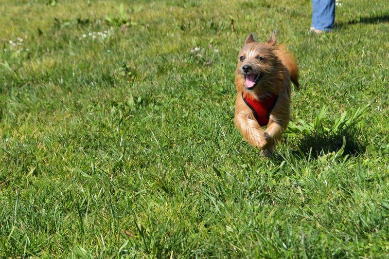 Furry dog running on grassy area