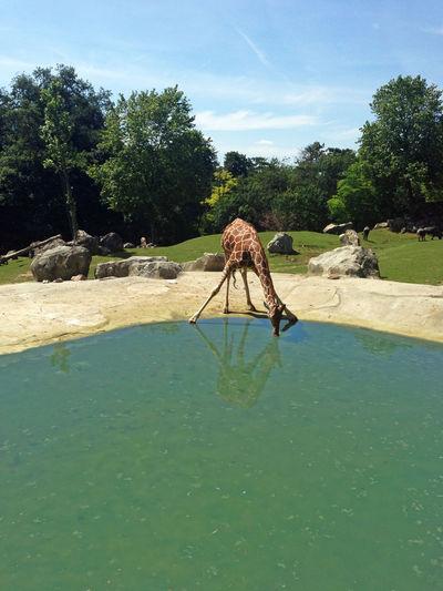 Giraffe Drinking Animals Panorama Animals Theme Giraffe Drinking Water Giraffe Position Green Park Outdoors Scenics Water Reflection Water Drinking Giraffe Qui Boit Action De Boire Boire Girafe Giraffa