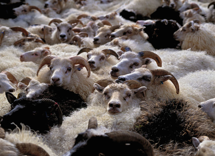 Flock of sheep in a farm