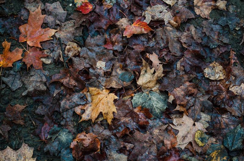 Full frame shot of dry maple leaves