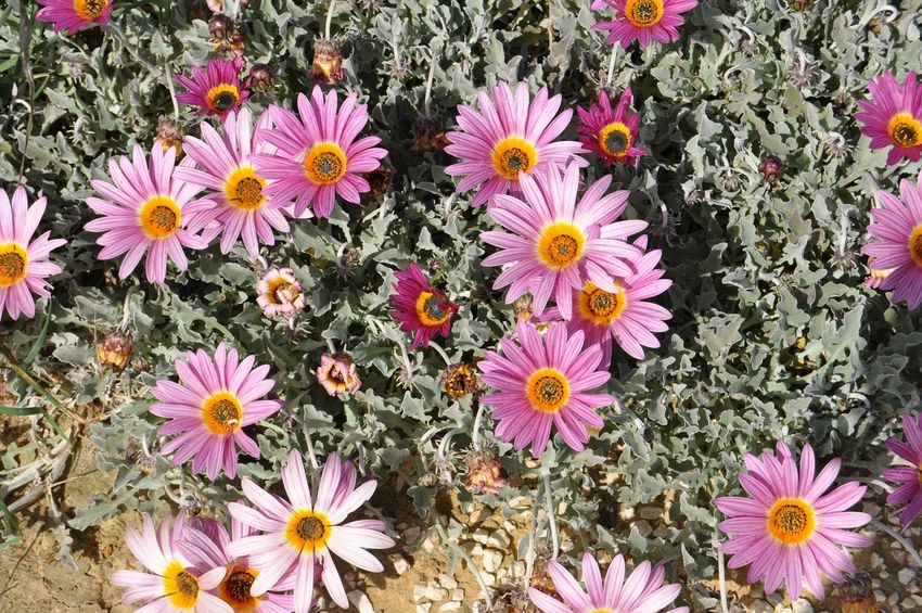 Flower Fragility Petal Nature Flower Head Beauty In Nature Growth Freshness Plant No People Day Outdoors Blooming Field High Angle View Springtime Pink Color Close-up Osteospermum Zinnia