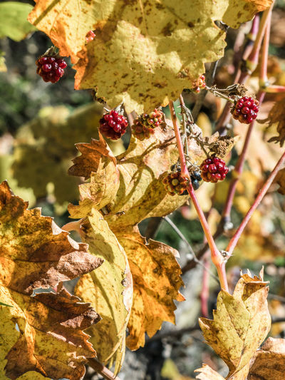 Agios Ioannis Autumn Beauty In Nature Close-up Day Fall Season Food And Drink Foraging Freshness Fruit Leaf Nature No People Outdoors Wild Raspberries Wilderness Fall Colors Yellow Leaves Red Berries Foraging For Food