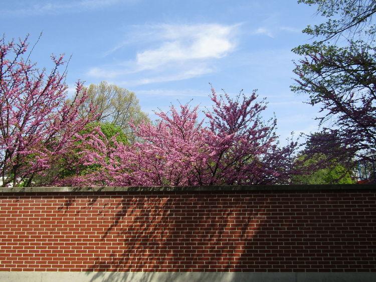 Baum Blüten Mauer Tree Blossoms  Wall Pink Pink Color Ziegel Brick Brick Wall Blauer Himmel Blue Sky Frühling Spring Springtime Springtime Blossoms