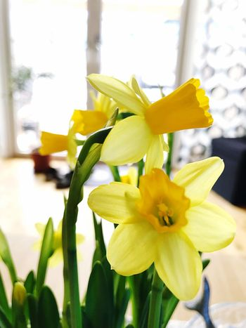 Flower Petal Flower Head Fragility Freshness Beauty In Nature Nature Daffodil Day Yellow Close-up Blooming No People Indoors