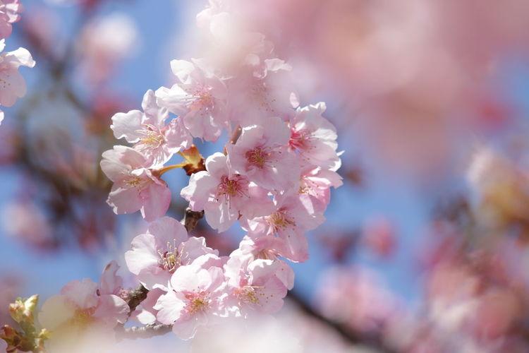 葵桜🌸(河津桜) 河津桜 Flower Springtime Nature Blossom Close-up Beauty In Nature Pink Color Enjoying Life 写真好きな人と繋がりたい ファインダー越しの私の世界 写真撮ってる人と繋がりたい Canon 70d Canon EOS 70D EyeEm Best Shots EyeEm Gallery