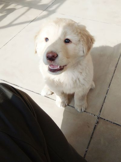Labrador Pets
