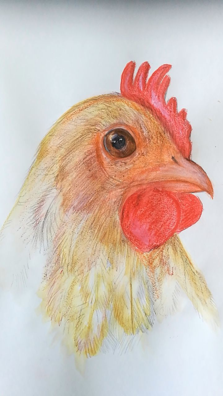 CLOSE-UP OF ROOSTER AGAINST GRAY BACKGROUND