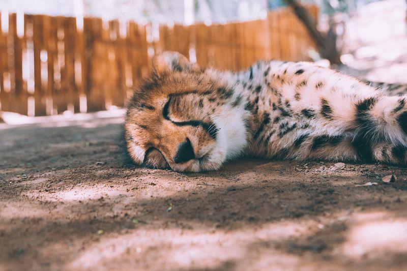 Cheetah Sleeping At Zoo