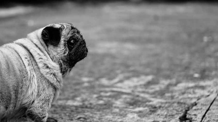 Side View Of Pug Standing On Field