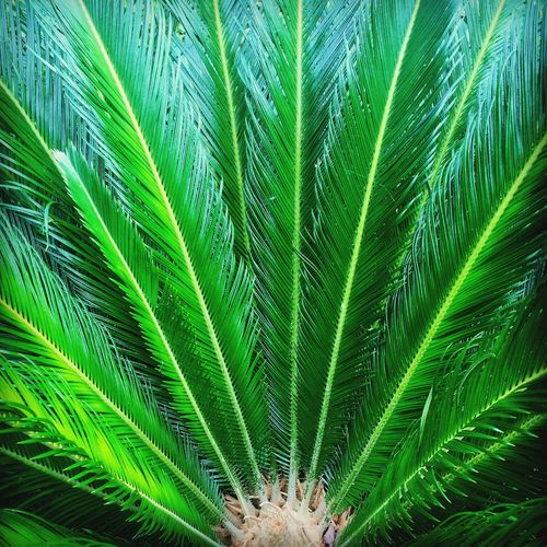 Sago Palm Perfection First Eyeem Photo EyeEmNewHere No People Outdoors Sago Palm Green Plant Landscape_photography Beauty In Nature Close-up Botany High Angle View Nature Brilliant Colors Best EyeEm Shot Front Yard Low Country Beauty No People Outdoors Indigenous Beauty Plant Paradise Plant Life Plant Love Plants Are Friends Day Best Sago On The Block EyeEmNewHere The Great Outdoors - 2017 EyeEm Awards EyeEmNewHere Lost In The Landscape