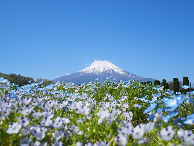 Mt Fuji Blue Blue Sky Sky Flowerporn Nature_collection EyeEm Nature Lover Nature Flowers_collection Flowers