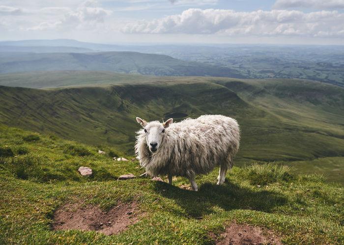 Sheep in a field in wales