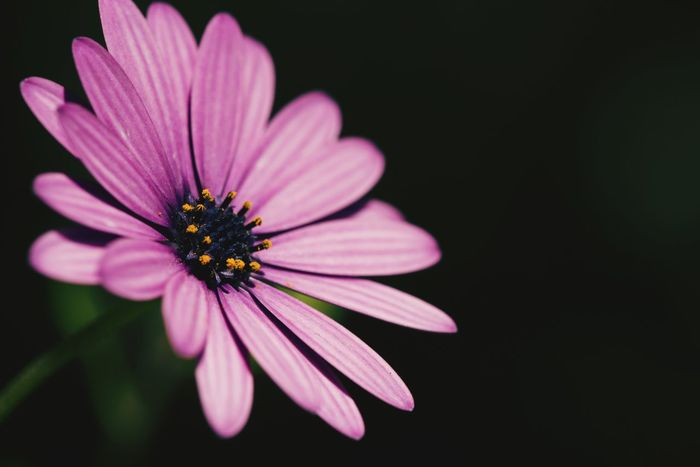 Flower Pink Color Petal Plant Purple Fragility Beauty In Nature Freshness Nature Flower Head Black Background Close-up Day Outdoors Coneflower Daisy Daisy Flower Daisy Close Up Blooming Blooming Flower Bloom In Bloom Allergy Garden Gardening