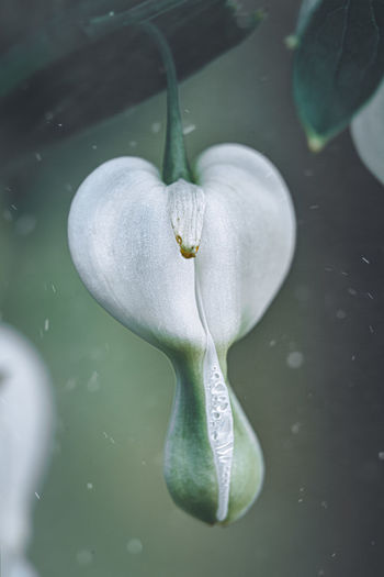 High angle view of white rose floating on water