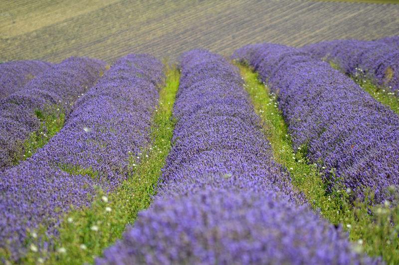 Purple crocus flowers on field