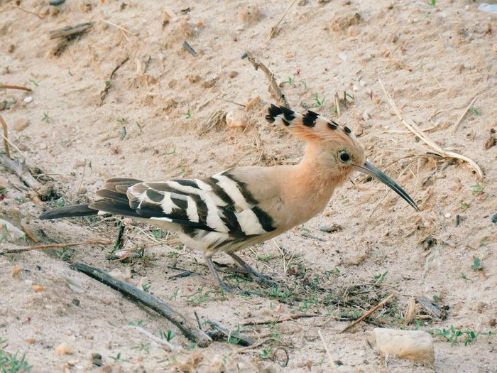 Animals In The Wild Sand Animal Wildlife One Animal Animal Themes Day High Angle View Outdoors Beach No People Nature Bird Close-up From My Point Of View Light And Shadow Nature Shadows & Lights View From Above Animals In The Wild Hoopoe Hoopoe Bird