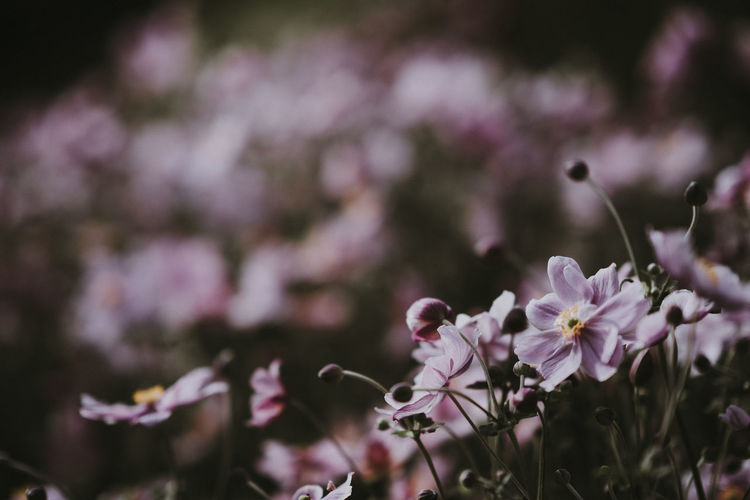 Soft, pink fragile Japanese Anemone flowers Japanese Anemone Anemone Anemone Flower Beauty In Nature Botanical Close-up Floral Flower Flower Head Flowering Plant Flowers Fragility Freshness Growth Nature No People Outdoors Petal Plant Selective Focus Vulnerability