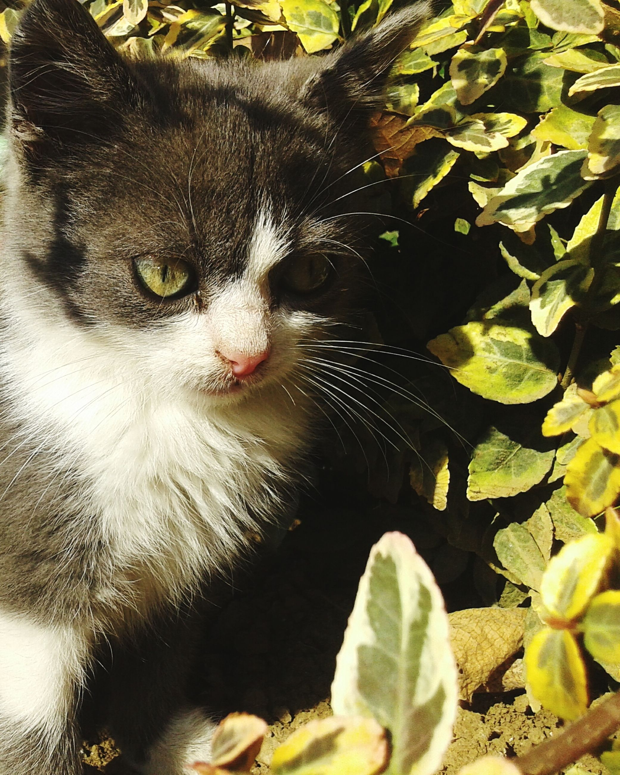 animal themes, one animal, domestic cat, pets, mammal, cat, domestic animals, feline, whisker, portrait, looking at camera, leaf, plant, close-up, nature, wildlife, animal head, outdoors, no people, sitting