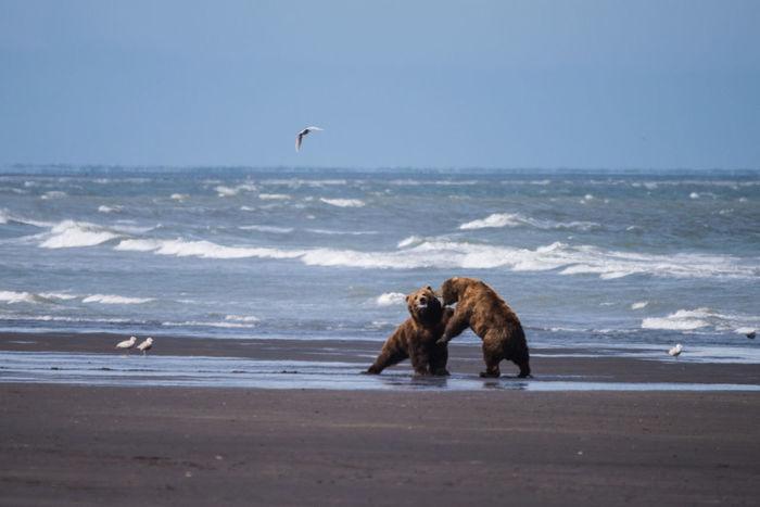 Alaska Animal Behavior Animal Fight Brown Bear Grizzly Bear Sea Shore Wildlife