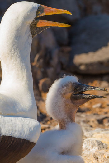 Close-up of nazca booby with young bird