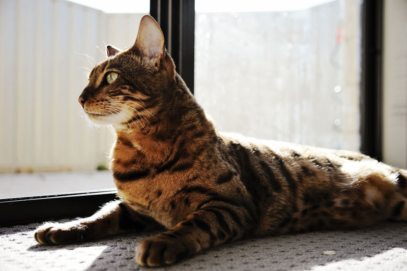 Cat relaxing on table by window at home