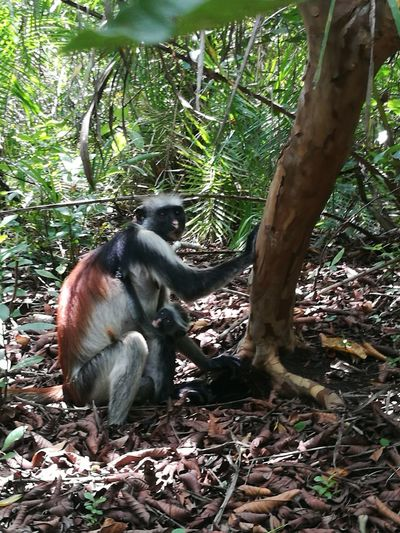 mamma and her little baby 🙈 Red Colobus Rare Beauty In Nature Monkey Monkeys Baby Monkey Baby Animal Mum & Son Mum & Daughter Tree Primate Animal Animal Wildlife Mammal Forest Animals In The Wild Ape Outdoors Tail Branch Animal Themes No People Nature Day